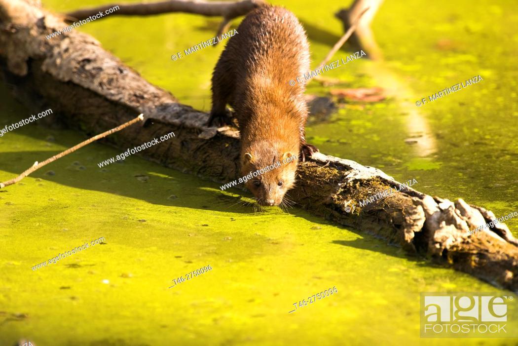 Imagen: American mink (Neovison vison). Arroyo de Meaques, Madrid province, Spain.