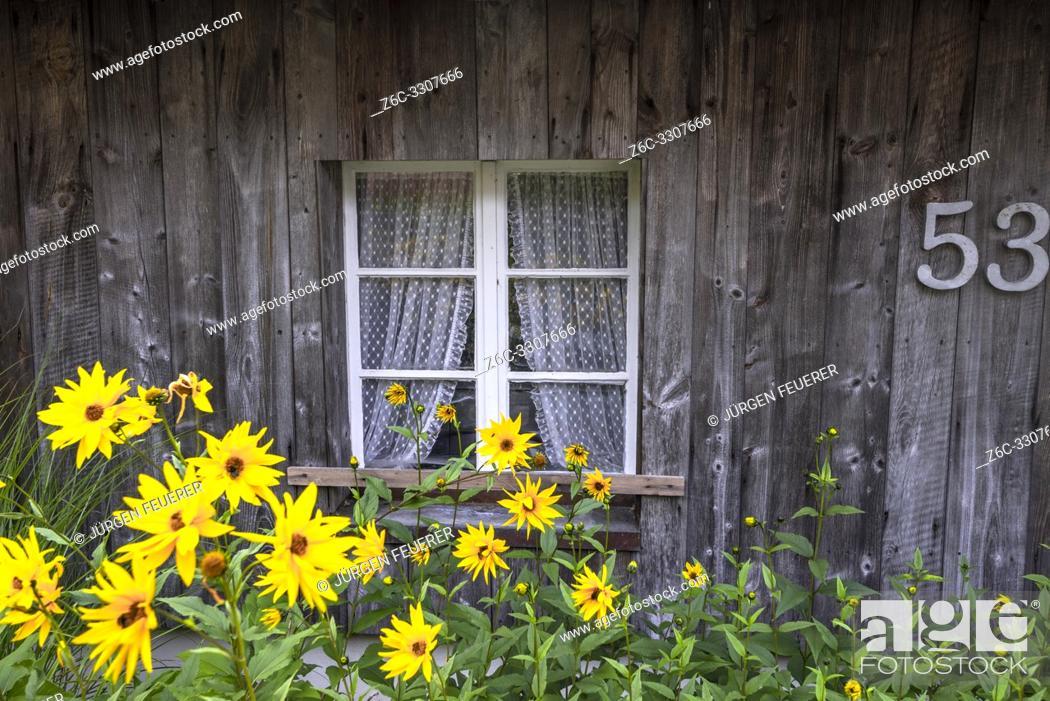 Stock Photo: blooming aster flowers in front of a lattice window, Black Forest house in Menzenschwand, near St. Blasien, district Waldshut.