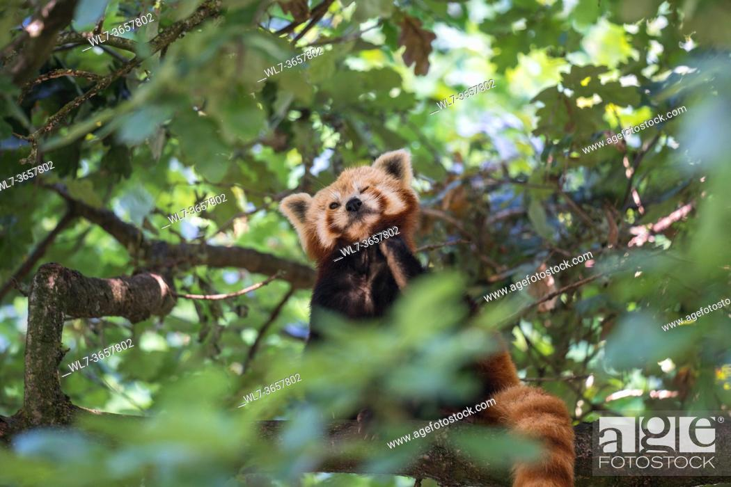 Stock Photo: Red panda (Ailurus fulgens) perched in a tree, Bristol UK. August 2019.