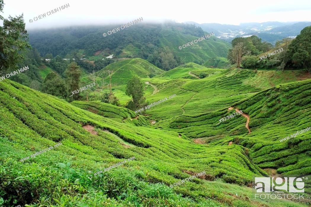 Stock Photo: Tea Plantation, Cameron Highlands, Malaysia.