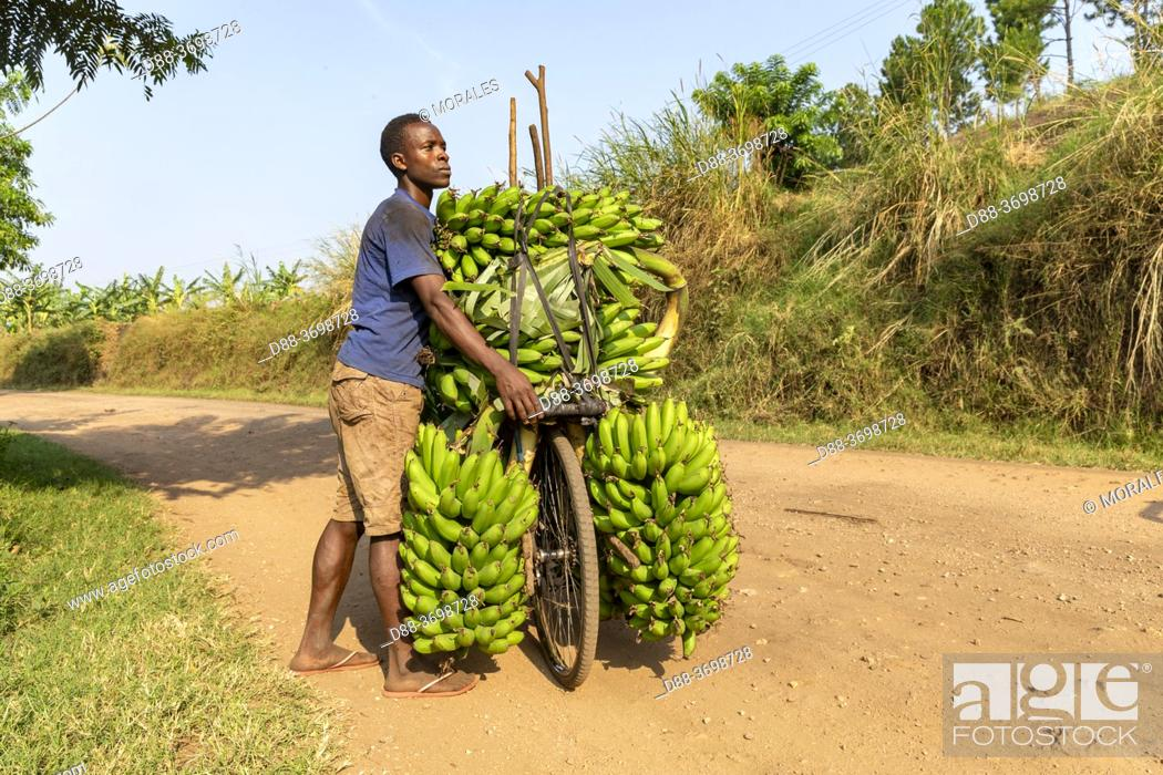 Photo de stock: Africa, Uganda, South West Uganda, A villager carries bananas to the market on his bike, he will sell them.
