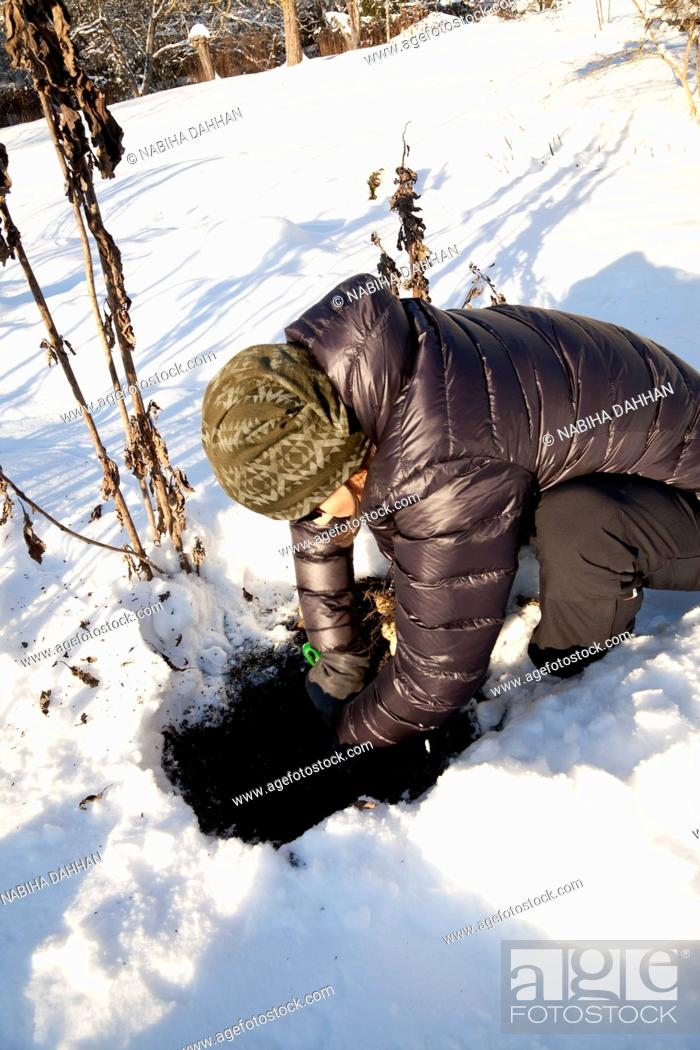 Stock Photo: Man harvesting Jerusalem artichoke tubers in winter.