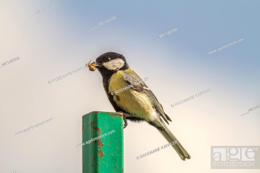 Stock Photo: Germany, Saarland, Niederbexbach, A Great tit on a steel post with a crab spider in the beak.