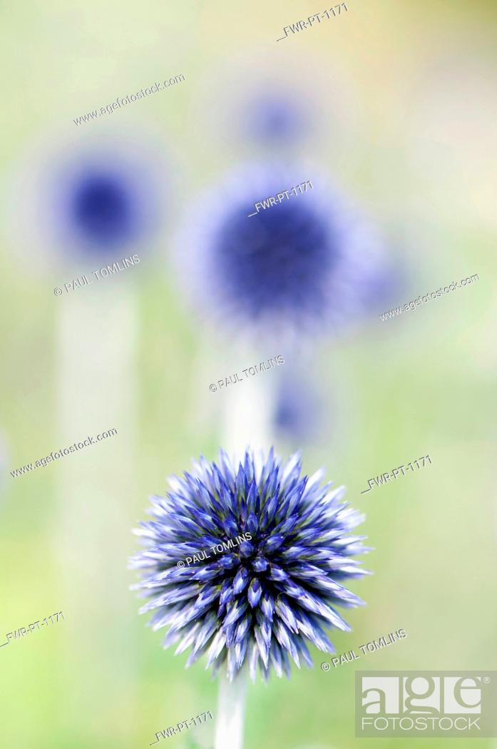 Imagen: Globe Thistle, Echinops ritro 'Veitch's blue', A single flower not yet open with others behind in soft focus.