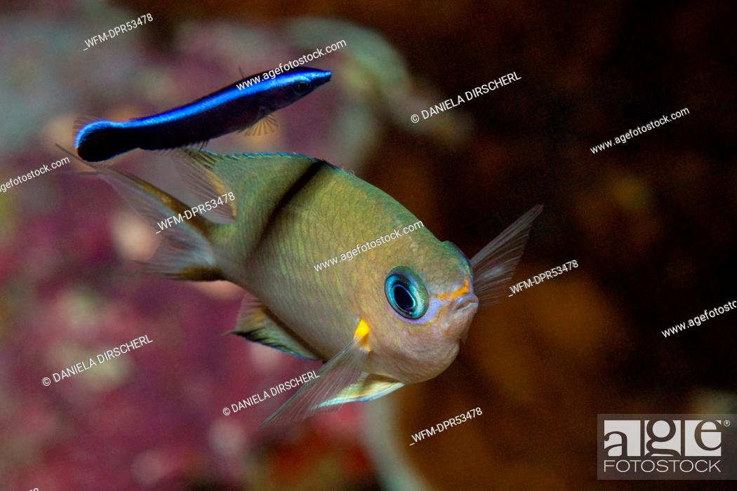 Stock Photo: Ambon Chromis cleaned by Cleaner Wrasse, Chromis amboinensis, Labroides dimidiatus, Russell Islands, Solomon Islands.