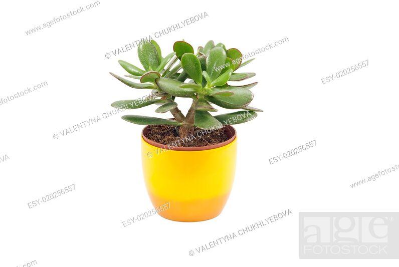 Stock Photo: Succulent Plant.