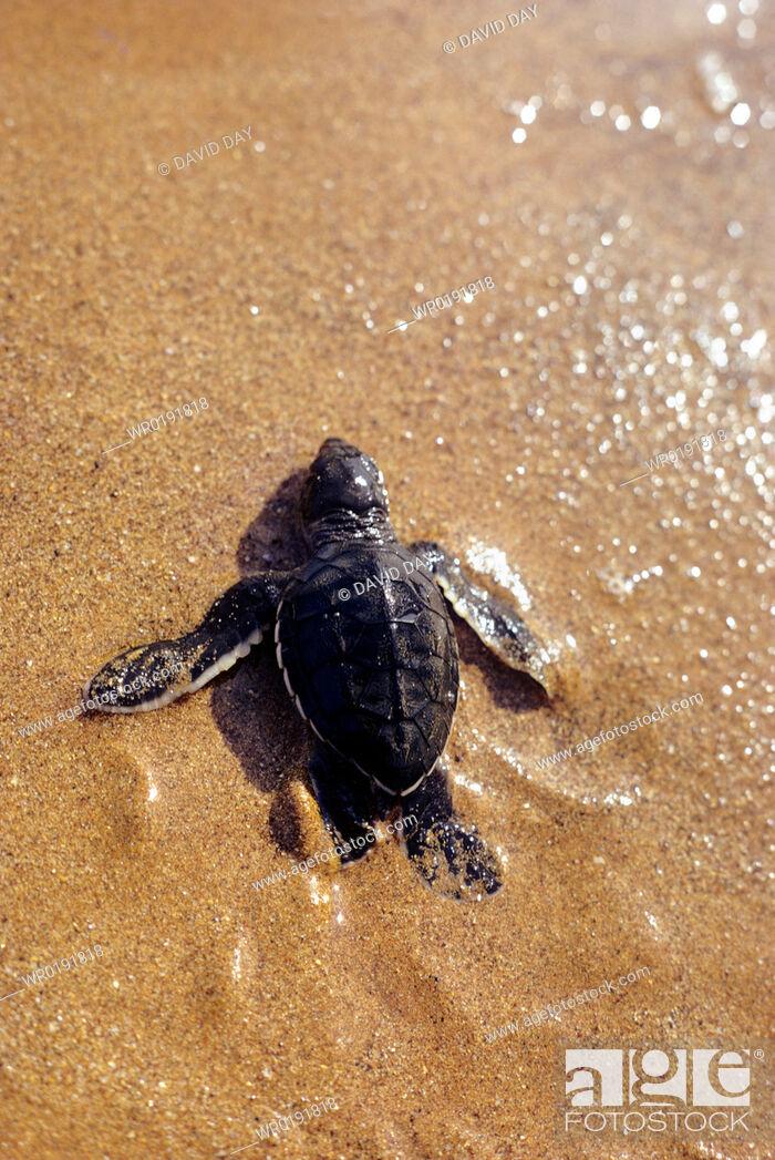 Imagen: Green turtle hatchling walking down the beach Chelonia mydas Playa Espumilla, Santiago Island, Galapagos, Ecuador.