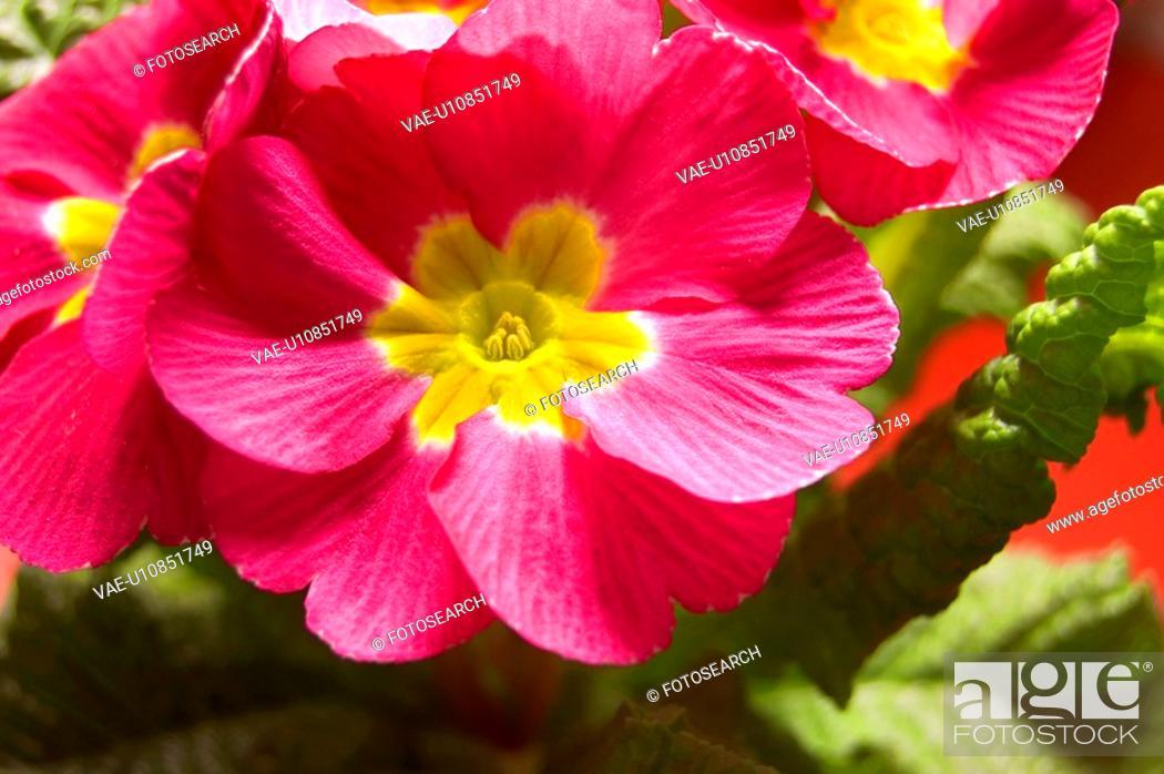 Stock Photo: botanical, CLOSE, closeup, czech, flower, macro.