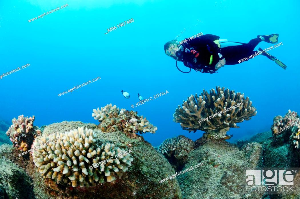 Stock Photo: Diver swimming over antler coral, Kauai, Hawaii, USA.