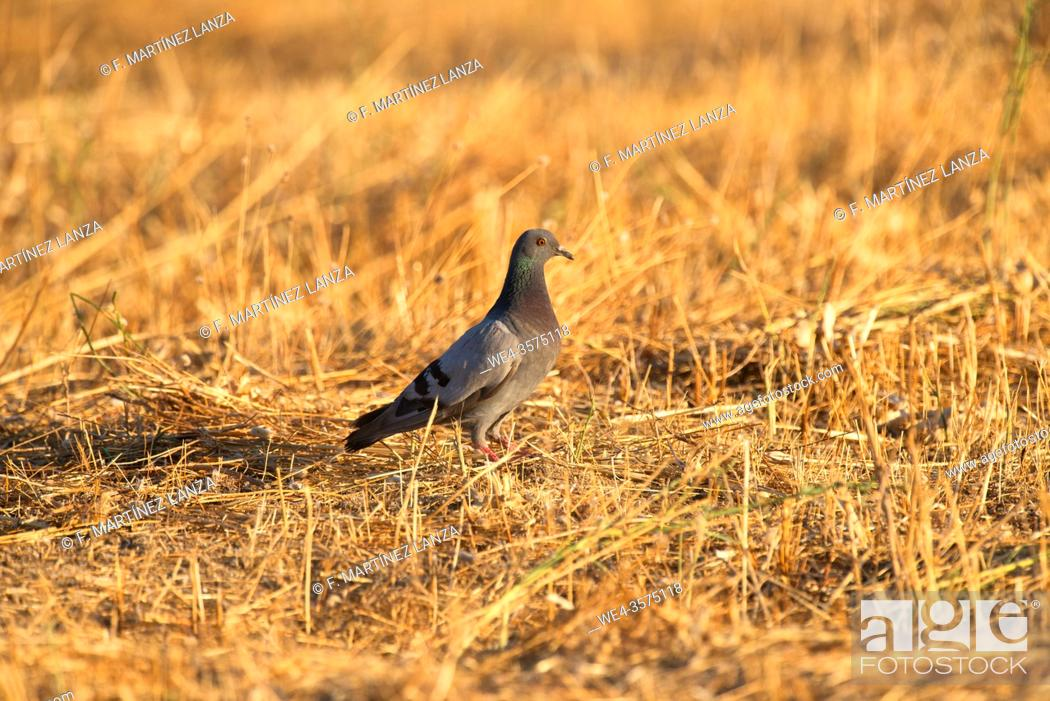 Stock Photo: Stock pigeon in a field of stubble.