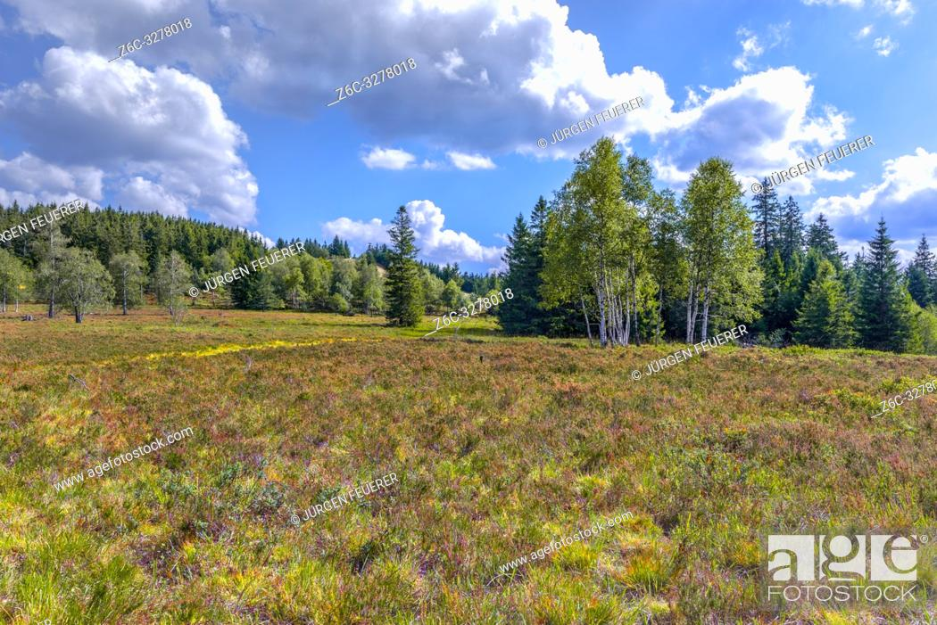 Stock Photo: nearly treeless heather landscape with blooming Erica, Northern Black Forest, Germany, landform grinde between Schliffkopf and Zuflucht, community of Oppenau.