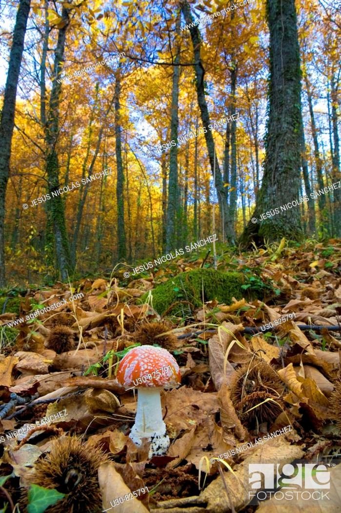 Stock Photo: Amanita muscaria Fly agaric in a forest of chestnut trees in the Sierra de Béjar, Hervás, in the province of Caceres, Spain, Europe.