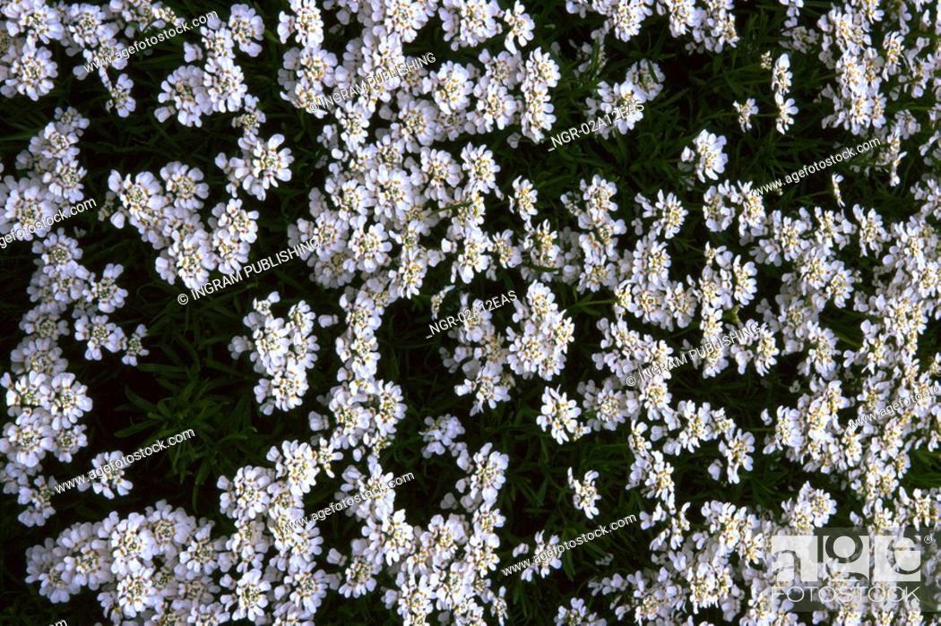 Stock Photo: High angle view of white flowers growing in a garden.
