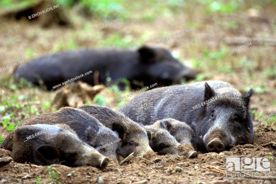 Stock Photo: wild boars, Sus scrofa Linnaeus.