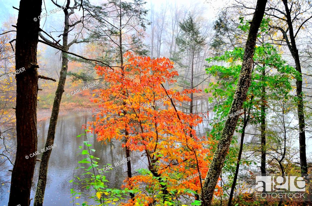 Stock Photo: A colorful tree looks over a stream, Pennsylvania, USA.