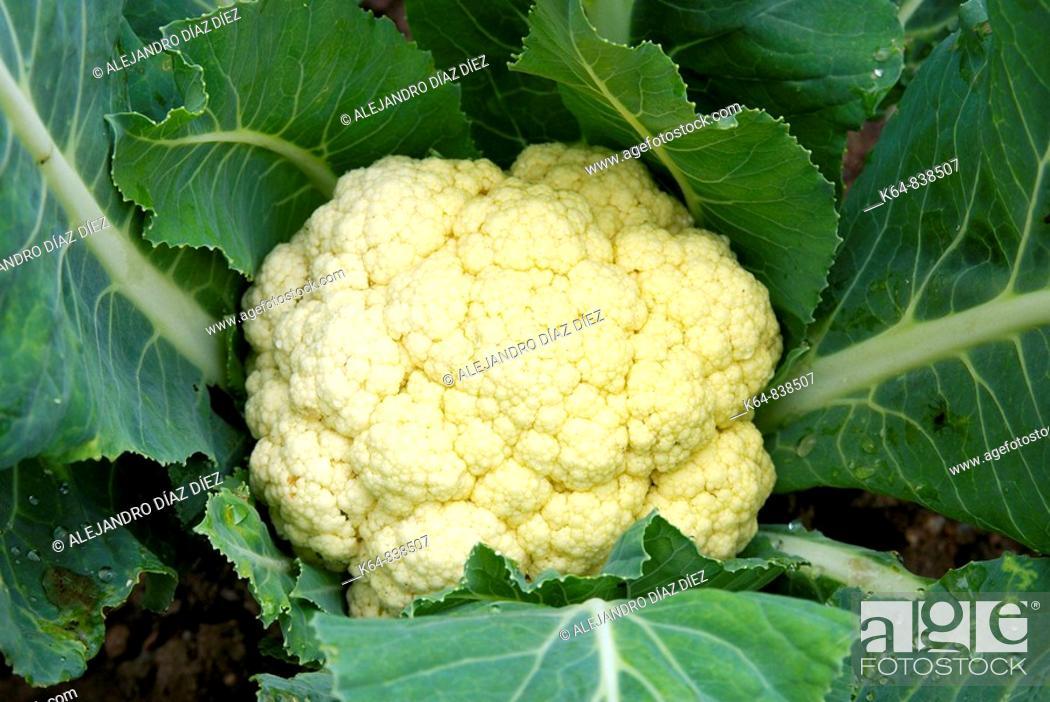 Stock Photo: Cauliflower in kitchen garden. Canicosa de la Sierra, Burgos province, Castilla-Leon, Spain.