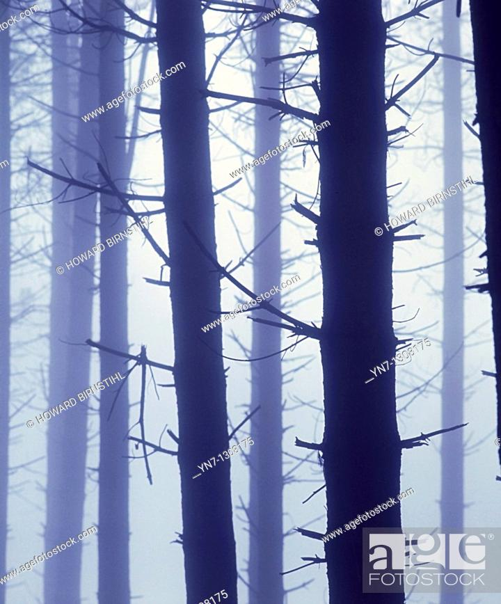 Stock Photo: misty pine forest with tree trunks looking ghostly in the gloom.