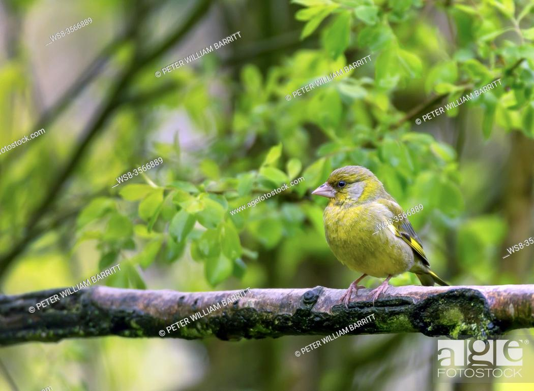 Imagen: Greenfinch, Carduelis chloris, in woodland, Shropshire, England, UK, GB, .