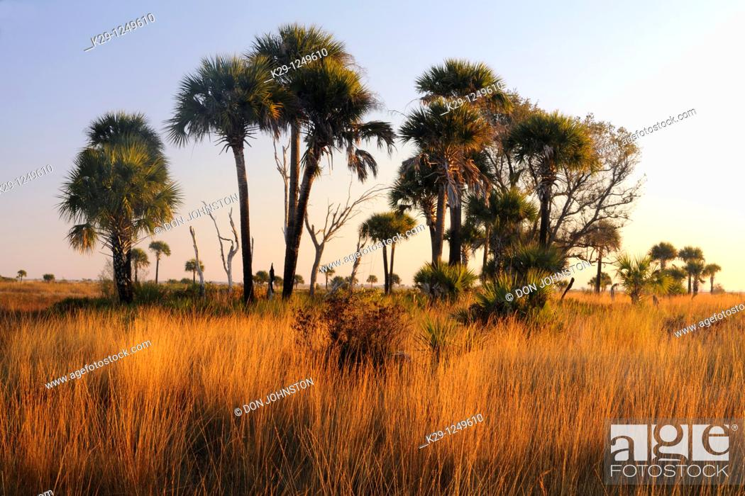 Stock Photo: Sabal palms in grassland at sunset.