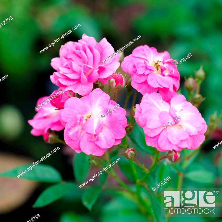 Stock Photo: Fairy rose blooming on tree.