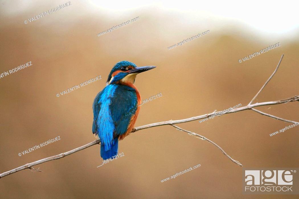 Stock Photo: Kingfisher (Alcedo atthis), Palancia river. Soneja. Castellón province, Spain.