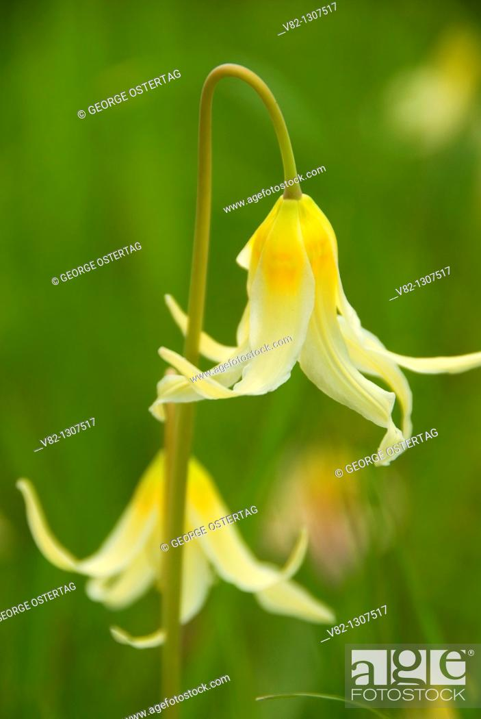 Stock Photo: Fawn lily (Erythronium oreganum), Bush Park, Salem, Oregon.