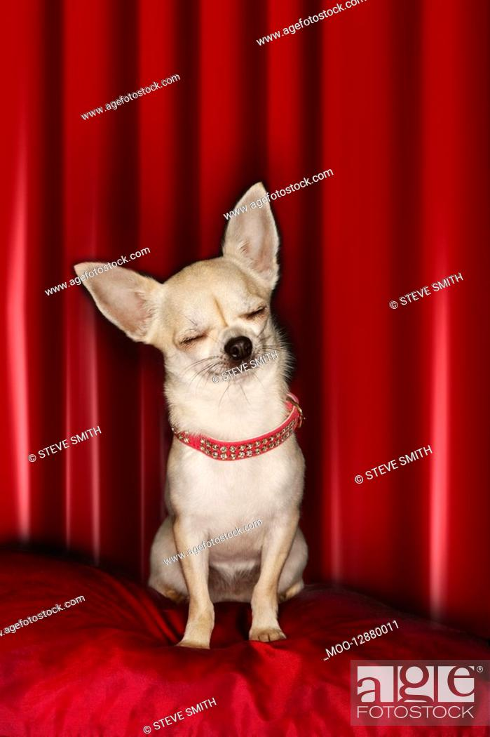 Stock Photo: Chihuahua eyes closed sitting on red pillow.