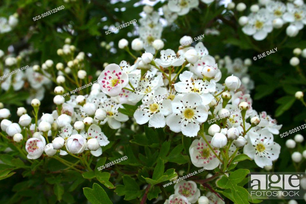 Stock Photo: Hawthorn Blossom Crataegus monogyna Sark British Channel Islands, UK.