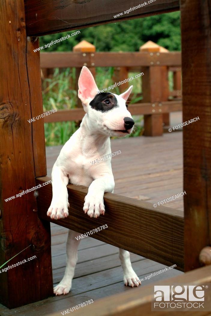 Stock Photo: faithful, domestic animal, companion, canine, close up, bullterrier.