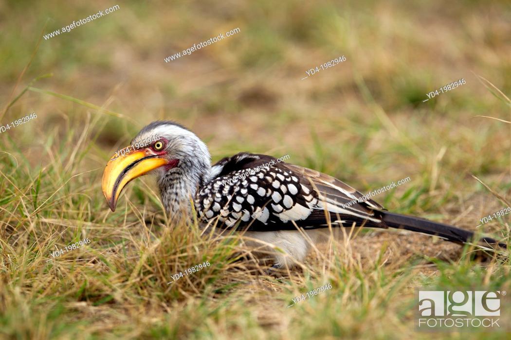 Stock Photo: Yellowbillled Hornbill (Tockus flavirostris), Kruger National Park, South Africa.