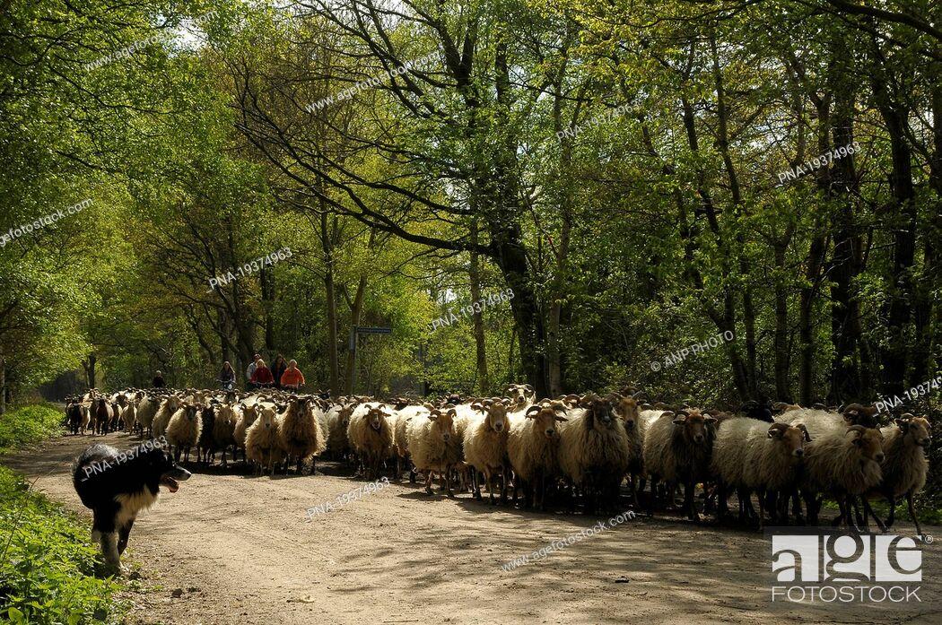 Imagen: sheep Ovis domesticus - Holtingerveld, Havelte, Drenthe, The Netherlands, Holland, Europe.
