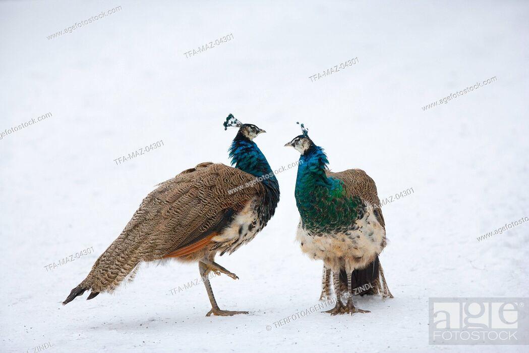 Imagen: common peafowls.