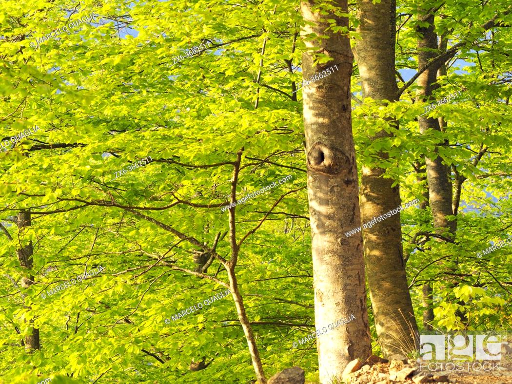 Stock Photo: Springtime beech forest (Fagus sylvatica) at Pla Galant site. Montseny Natural Park. Barcelona province, Catalonia, Spain.