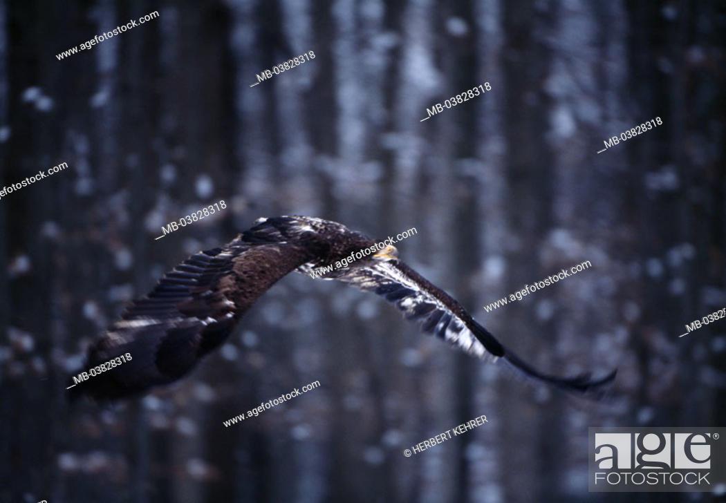 Stock Photo: Eurasian marine eagle, Haliaeëtus albicilla, flight,.