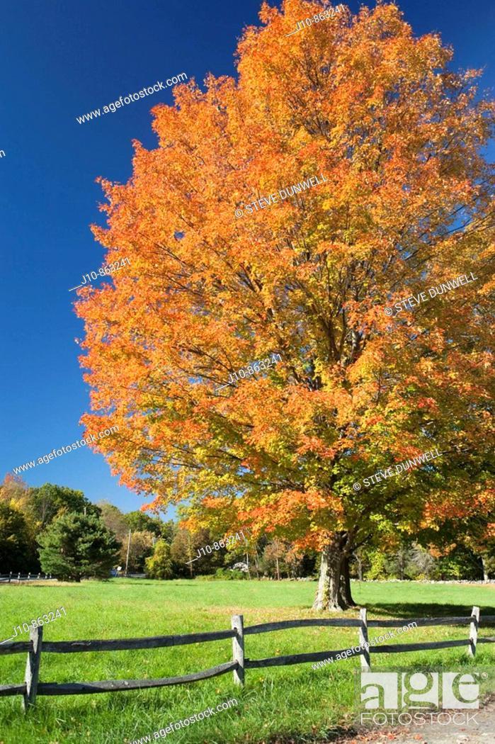 Stock Photo: Maple tree in autumn, Concord, Massachusetts, USA.