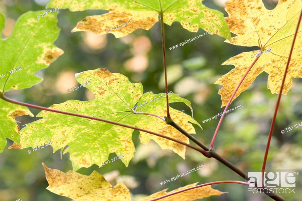 Leaves Of Big Leaf Maple Acer Macrophyllum In Early Autumn Stock