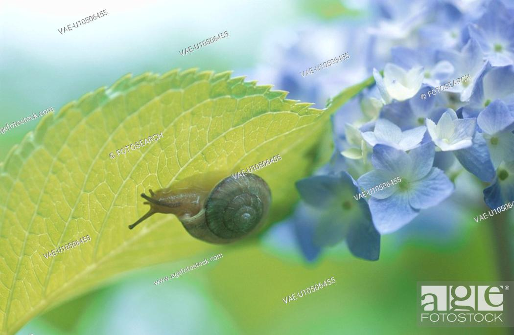 Stock Photo: A Hydrangea And A Land Snail.
