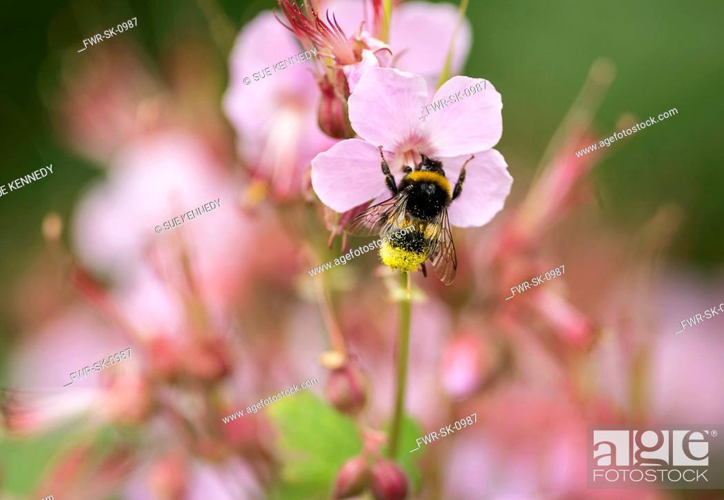 Imagen: Geranium, Cranesbill, White-tailed Bumble bee Bombus lucorum, pollinating flower in a garden.