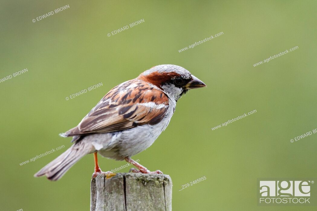 Stock Photo: Male House sparrow (Passer domesticus) East Sussex, England, UK.
