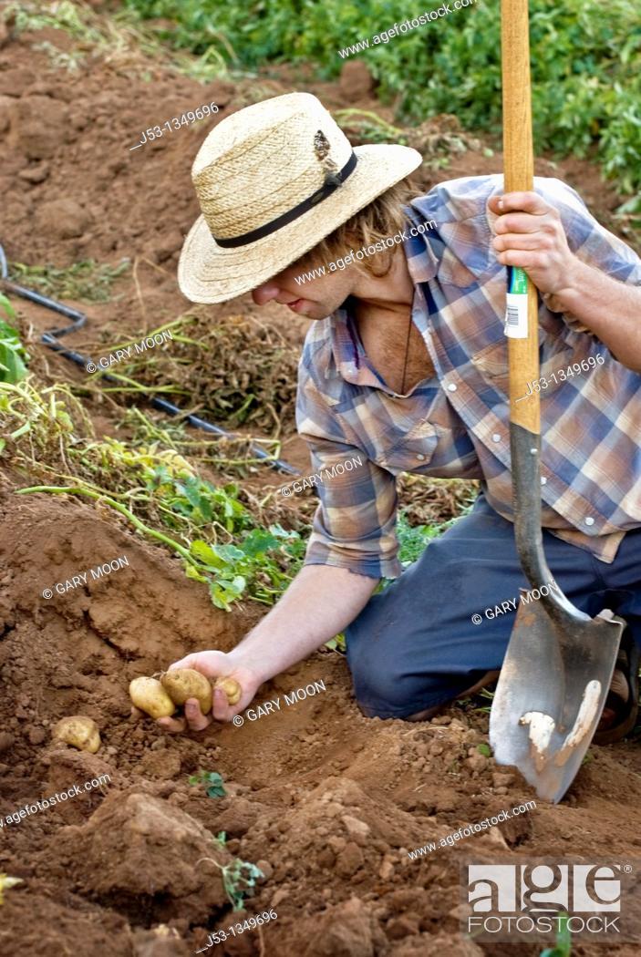Stock Photo: Young man harvesting potatoes on small organic farm, Nevada City, California.