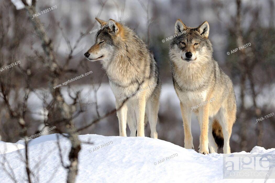 Imagen: Grey Wolf Canis lupus - Norway, Scandinavia, Europe.