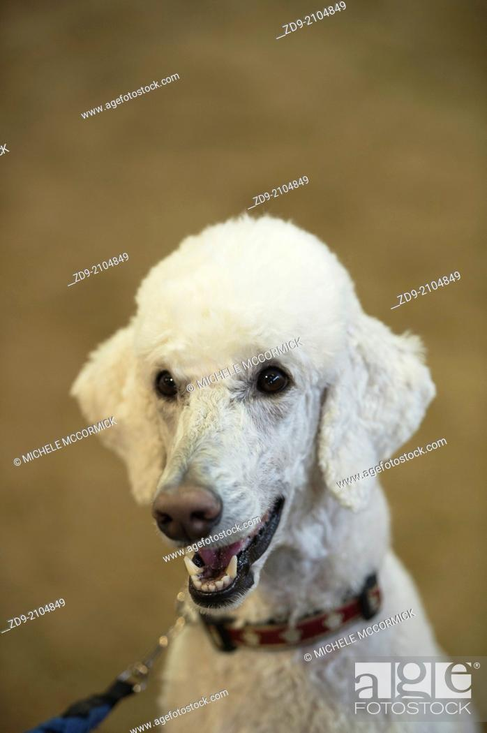 Stock Photo: A smiling poodle is all eyes for his owner.