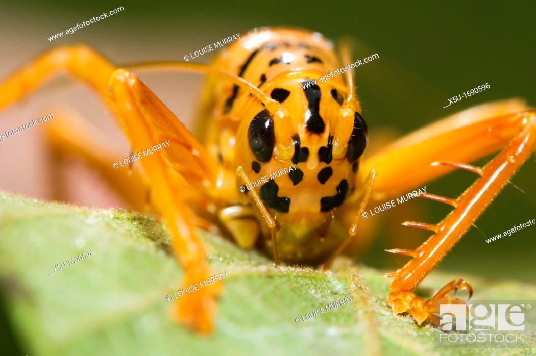 Stock Photo: Orange and black Bush cricket Tettigoniidae.