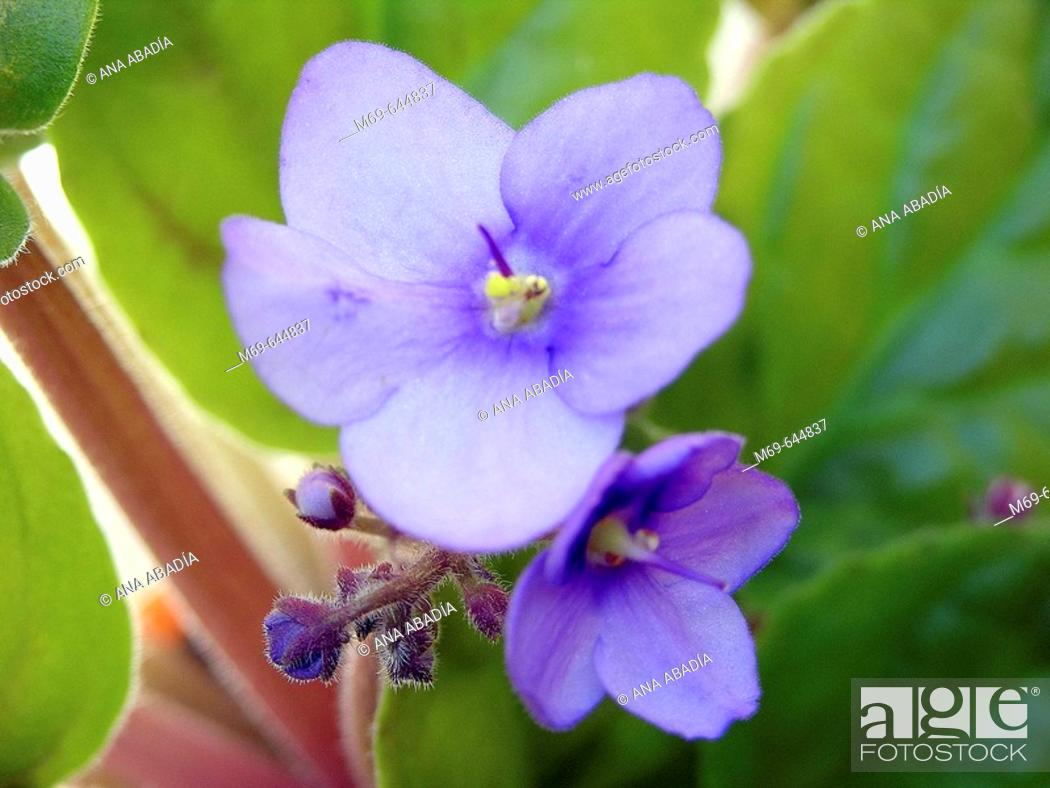 Stock Photo: Violets (Viola sp.).