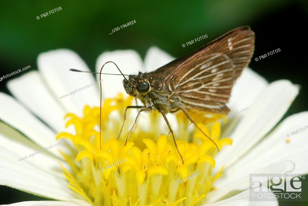 Stock Photo: Skippers butterfly on flower of Compositae. (Hesperiidae, Lepidoptera).