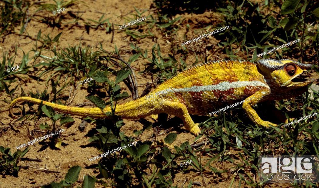 Stock Photo: Panther Chameleon (Furcifer pardalis), Chamaeleonidae. Antsiranana, Madagascar.