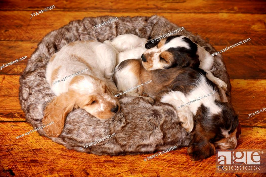 Stock Photo: 3 sleeping English Cocker Spaniel Puppies.