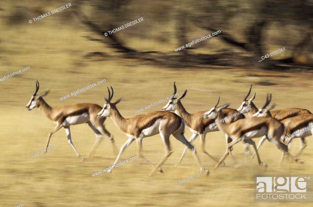 Imagen: Springbok (Antidorcas marsupialis). Running in the dry Auob riverbed. Kalahari Desert, Kgalagadi Transfrontier Park, South Africa.