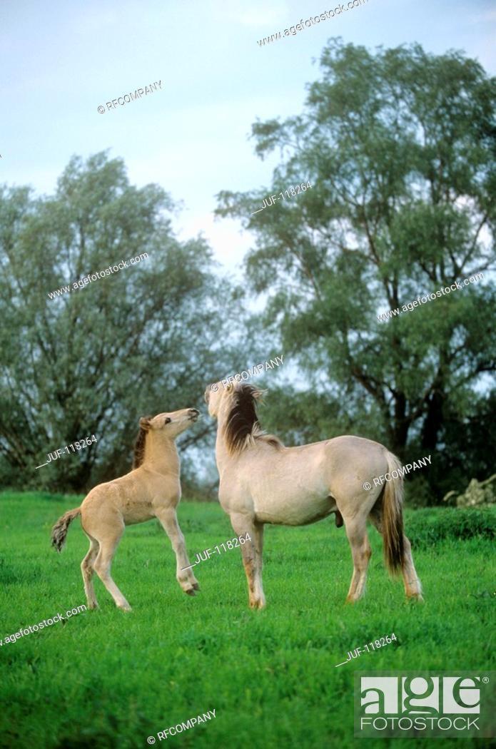 Stock Photo: Konik and foal on meadow.