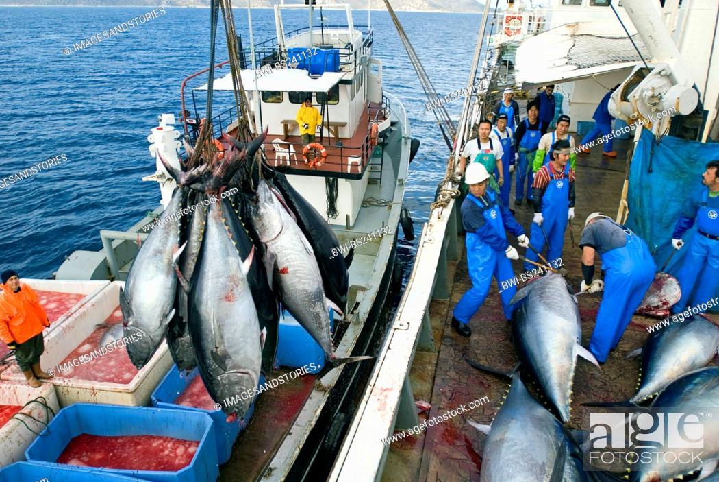 Stock Photo: tunny, blue-fin tuna, blue-finned tuna, northern bluefin tuna Thunnus thynnus, Japanese fishing ship crew cutting and cleaning fishes lying on deck, Turkey.